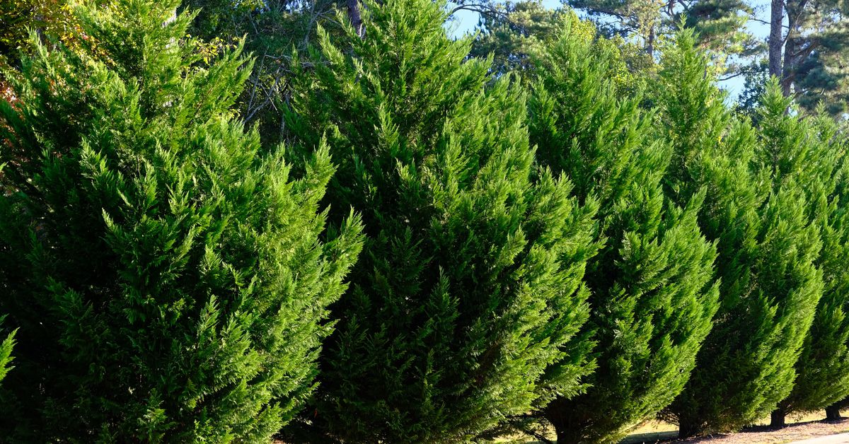 Everything You Need to Know About Leyland Cypress Trees
