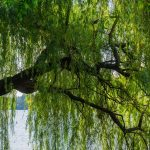 Everything You Need to Know About Weeping Willow Trees