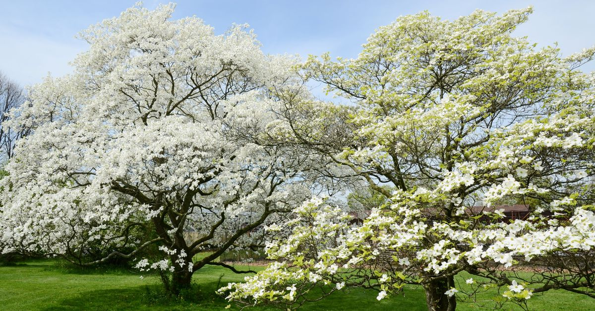 Everything You Need to Know About White Dogwood Trees