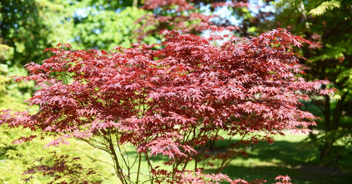 Everything You Need to Know About Bloodgood Japanese Maple Trees